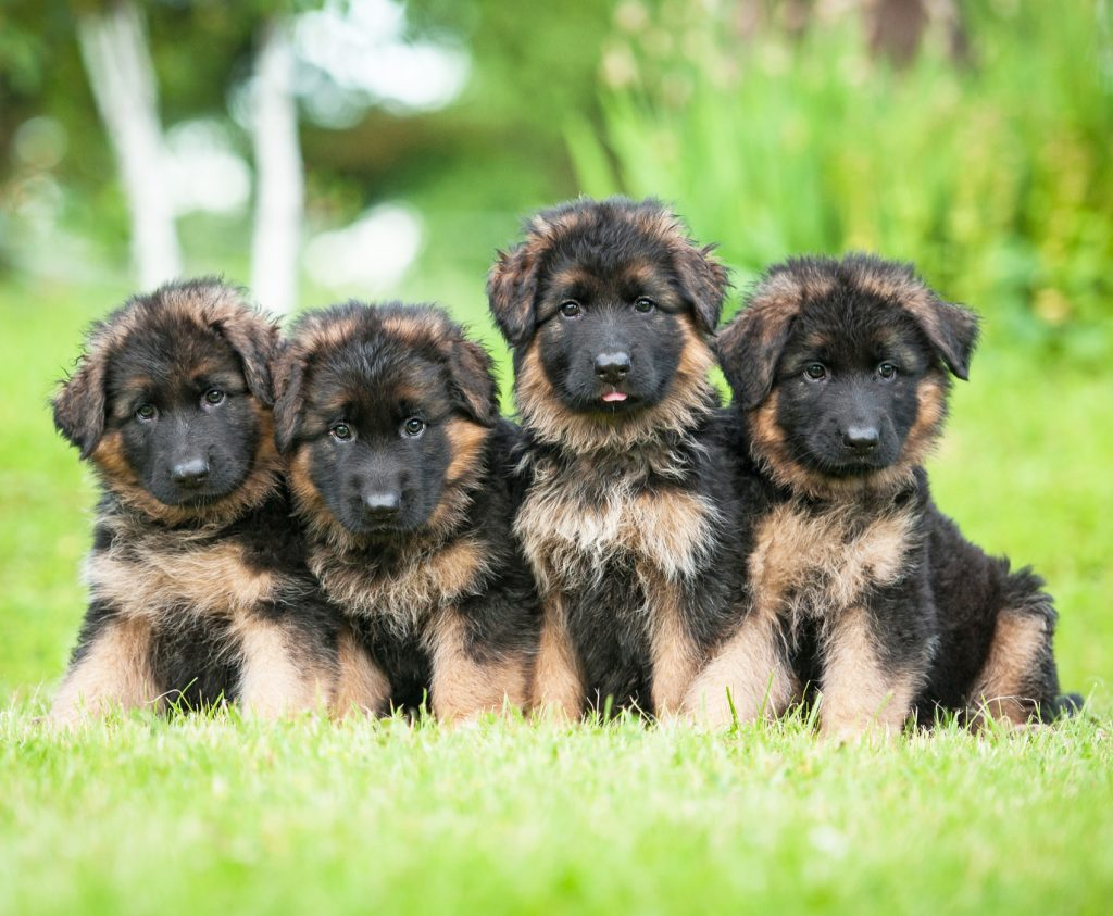 How To Select A German Shepherd Puppy German Shepherd Dog Hq
