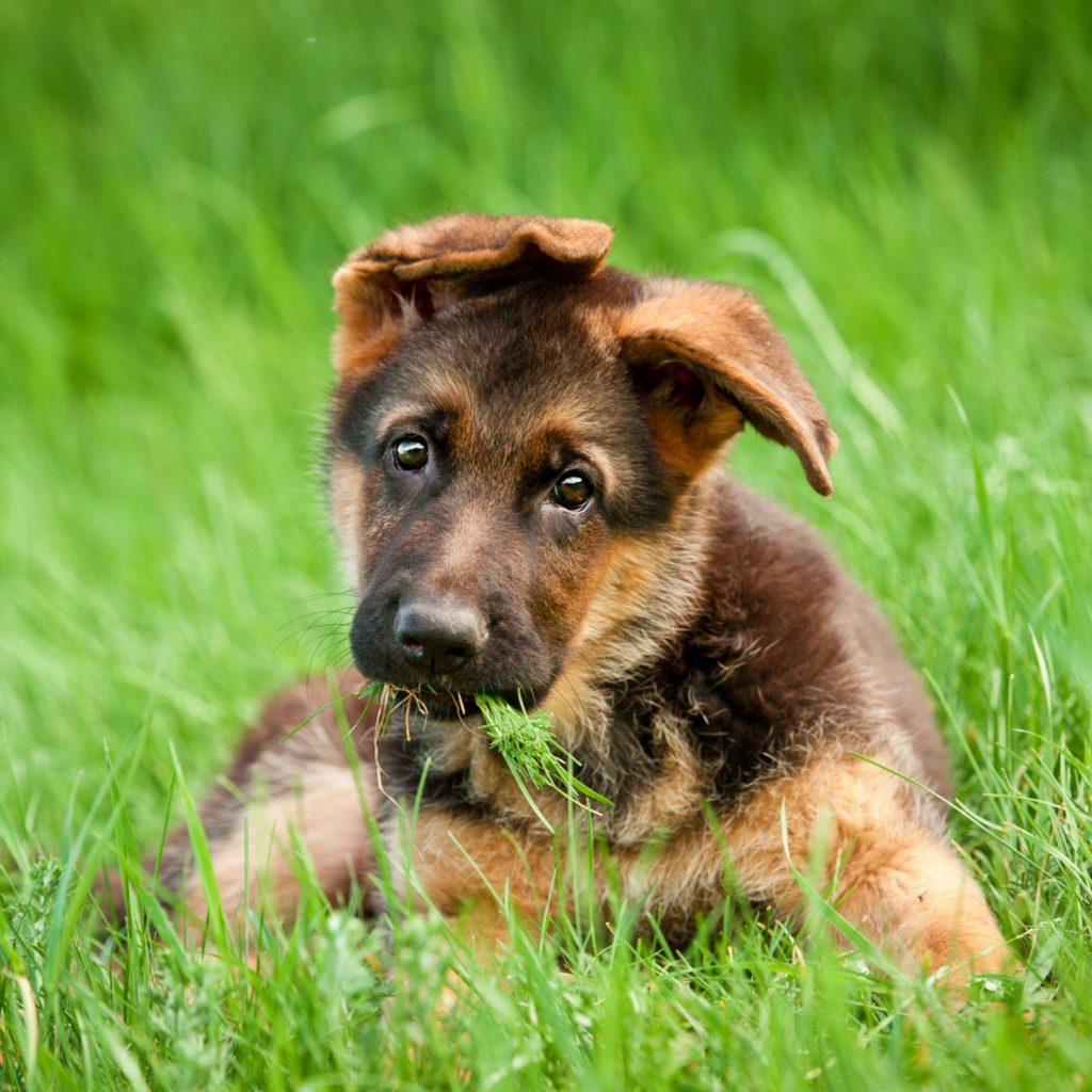 Buy German Shepherd Puppy For Sale Near Me In Wales UK